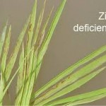 Khaira disease of rice