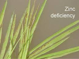 Khaira disease of rice