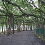 India Banyan